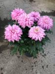 chrysantheme 'Originos' 6 têtes roses - pot déco.Ø 23cm