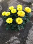 chrysantheme Anémones 10 têtes jaunes coupe Ø27cm