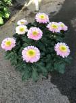 chrysantheme Anémones 10 têtes roses coupe Ø27cm