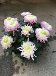 chrysantheme 10 têtes roses pales coupe Ø27cm
