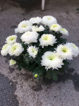 chrysantheme 10 têtes blancs coupe Ø27cm