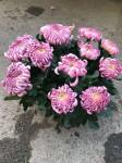 chrysantheme 10 têtes roses coupe Ø27cm