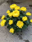 chrysantheme 10 têtes jaunes coupe Ø27cm