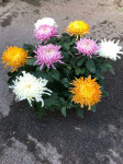 chrysantheme 10 têtes multicolores coupe Ø27cm