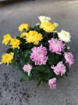 chrysantheme 12 têtes multicolores coupe Ø30cm