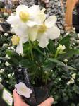 HELLEBORE NIGER CHRISTMAS CAROL pot 12cm