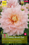 DAHLIA DECO GEANT BREAK OUT C X1