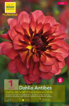 DAHLIA DECORATIF ANTIBES, ROU X1