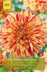 DAHLIA DECORATIF GLORIOSA  CA X1