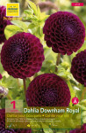 DAHLIA POMPON DOWNHAM ROYAL P X1