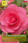 BEGONIA DOUBLE ROSE  6/+  X3