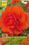 BEGONIA DOUBLE ORANGE  6/+  X3