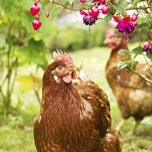 Poules et lapins
