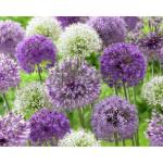 Allium décoratifs variés
