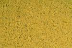 ORLUX PATEE GOLD CANARIS 250 G